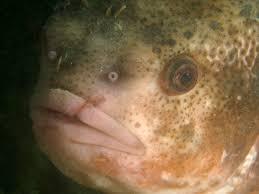 Hoe Heet Die Vis Ook Alweer Duikeninbeeld