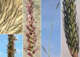 Alopecurus pratensis L. subsp. pratensis - Esploriamo la flora: un ...