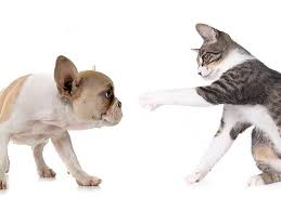 cats and dogs playing. Interesting And My Dog Chases Cat How Do I Stop Him Inside Cats And Dogs Playing L