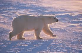 Climate Change Fires Up Polar Bear Treadmill - Scientific American