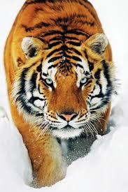 Tiger In The Snow Tygr Ve Sněhu Plakát Obraz Na Zeď Posterscz