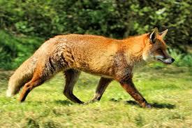 <b>Red fox</b> - Wikipedia