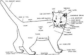 Cat Body Shape Chart Condition And Structure