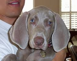close up a weimaraner puppy is being held in the arms of a person wearing