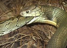 king cobra snake eating. Beautiful Snake King Cobra Snake Eating Throughout