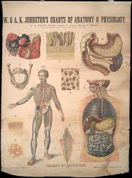 Organs Of Digestion Early 20th Century Anatomical Wall