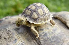Small Picture This 80 Year Old Tortoise Hatches A Tiny Baby But Mom Has Another