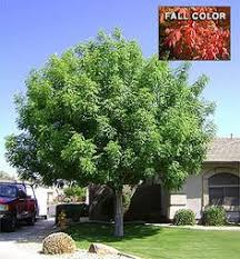 Best 25 Shade Trees Ideas On Pinterest  Trees To Plant Good Trees For Backyard