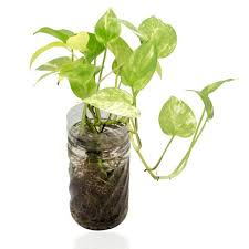 house plants. Houseplants For Cleaning Indoor Air_Golden Pothos House Plants