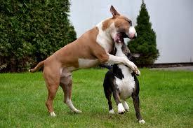 miniature bull terrier vs standard. Wonderful Bull For Miniature Bull Terrier Vs Standard L