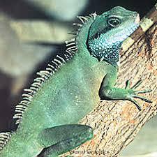 petsmart reptiles for sale. Brilliant Petsmart Chinese Water Dragon To Petsmart Reptiles For Sale PetSmart