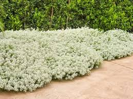 Alyssum – How to Plant & Care for Sweet Alyssum Flowers | Garden ...