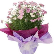 flowers australia gifts her a flowering potted plant wrapped in coordinating