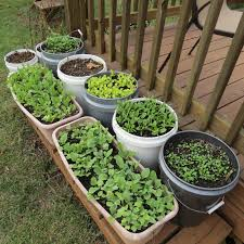 container gardening vegetables. Interesting Container Gardening Vegetables | Fall Greens And Radishes Garden - The Rusted Blog