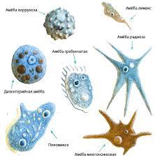Тип простейшие организмы строение одноклеточные животные  Малярийный паразит одноклеточное животное относится к типу простейшие Малярийный паразит поселяется в красных кровяных тельцах