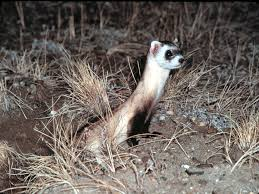 Mustela Nigripes Black Footed Ferret