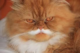 orange persian cat. Delighful Orange Intended Orange Persian Cat 0