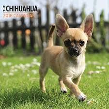 Bildresultat för chihuahua