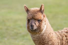 Facts About <b>Alpacas</b> | Live Science