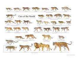 Wild Cat Size Chart Best Cat Cute Pictures Meme Cartoon
