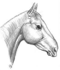 Cavalli Frisoni Da Colorare Disegno Da Colorare Il Cavallo