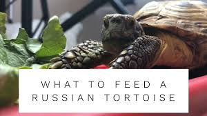 What To Feed A Russian Tortoise