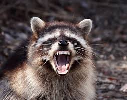 Image result for free raccoon pictures
