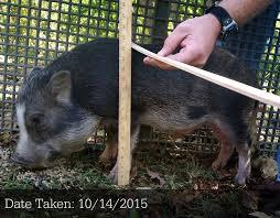 Mini Pig Size Classifications
