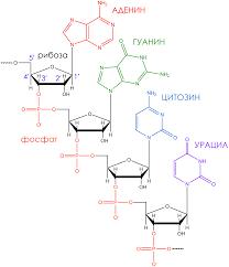 Реферат Биосинтез белка и строение рибосом СТУДЕНТОРИЙ Структура мРНК