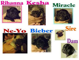 newborn pug puppies. Unique Pug Pets And Animals For Sale In Madison Heights Virginia  Puppy Kitten  Classifieds Buy Sell Kittens Puppies Americanlistedcom In Newborn Pug Puppies T