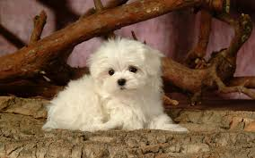 Maltese Dog Wallpaper #7020300