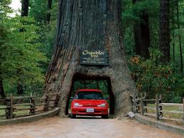 chandelier tree drive thru giant redwood california