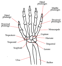 Anatomy of right hand bones human wrist bone structure the on and diagram