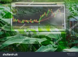 Corn Crop Field Season And Computer Screen Of Technical