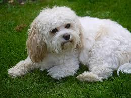 Cavachon Puppy Weight Chart Cavachon