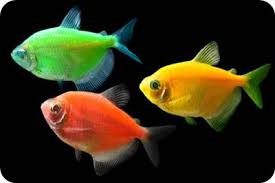 petco glofish. Modren Petco Glofish Tetra Barb For Petco Glofish N