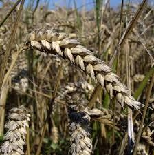 Озимая пшеница Селянка описание ru Озимая пшеница