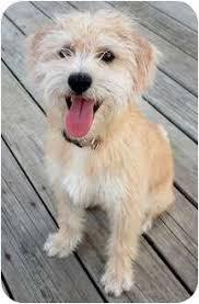wire hair terrier mix breeds. Plain Breeds Cairn TerrierWheaten Terrier Mix Dog For Adoption In Plainfield Illinois   Humfrey Inside Wire Hair Breeds E