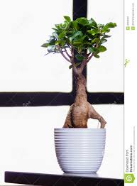 bonsai tree on a office table bonsai tree office table