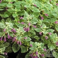 Plant Profile for Calamintha grandiflora 'Variegata' - Variegated ...