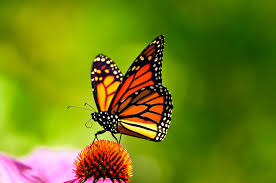 big pictures of butterflies. Perfect Butterflies Butterfly3 In Big Pictures Of Butterflies R