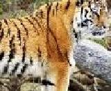 all essay short essay on tiger words  the tiger has a strong body which is brownish black stripes on it it has a long tail its padded feet have sharp claws there are four teeth