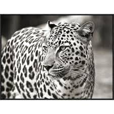 global gallery portrait of leopard south africa by claudia lothering framed photographic print on canvas wayfair metal wall artmetal  on leopard metal wall art with global gallery portrait of leopard south africa by claudia