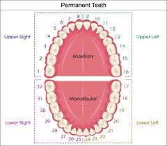 Standard Dental Chart Valid Wisdom Tooth Number Dental Chart Universal Ada Tooth