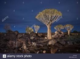 light painting of quiver trees in the quiver tree forest at night keetmanshoop namibia africa