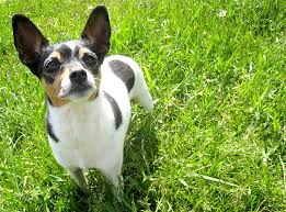 Rat Terrier Age Chart Rat Terrier Dog Breed Information Pictures Characteristics