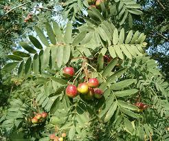 Sorbus domestica - EUFORGEN European forest genetic resources ...