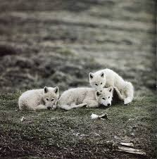 newborn white wolf pup. Delighful Pup Pups Throughout Newborn White Wolf Pup