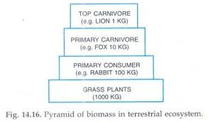 essay on ecological pyramid ecosystem ecology environment pyramid of biomass in terrestrial ecosystem