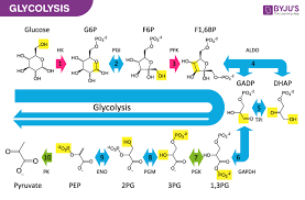 Glycolysis Flow Chart Glycolysis Function And Stages Of Glycolysis